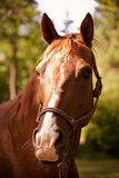 Brown horse. A portrait of a brown horse outside Stock Image