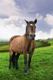 Brown Horse. Horse in a beautiful field with green grass and cloudy sky Stock Images