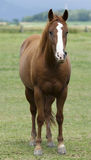 Brown horse. Is watching and standing Royalty Free Stock Image