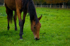 Brown horse. Brown horse walking on a farm Royalty Free Stock Images