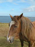 Brown Horse. On the coast of France with atlantic ocean in the background Stock Images