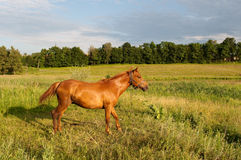 Brown horse. On the meadow Stock Photography