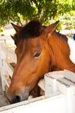 Brown horse. Royalty Free Stock Photos