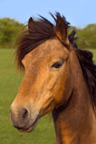 A brown horse. Portrait of a brown horse outdoors with green nature background Royalty Free Stock Photos