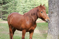 Brown horse. Beautiful brown horse in Bosnian mountains Royalty Free Stock Photo