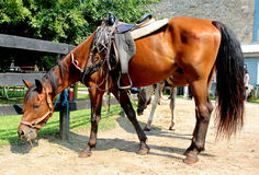 Brown Horse. Beautiful brown or chestnut horse stock photography