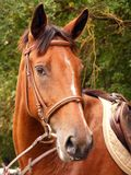 Brown horse. Bay horse with white stripe on forehead portrait during equestrian show Royalty Free Stock Images