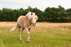 Brown horse. A brown Horse outside in Danmark walking Stock Image
