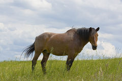 Brown horse. In the grass field Royalty Free Stock Photography