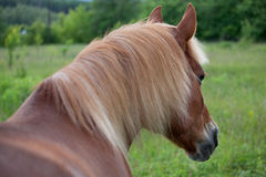 Brown horse. With a long mane on the meadow Stock Image
