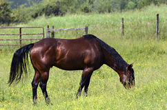 Free Brown Horse Royalty Free Stock Photos - 31332578