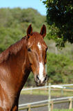 Brown horse. An outdoor head portrait of a beautiful brown horse with alert facial expression staring Stock Photo