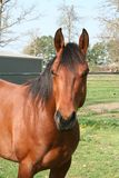 Brown Horse. A brown horse standing outdoors stock images