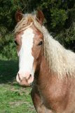Brown Horse. A brown horse standing outdoors Royalty Free Stock Images