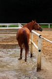 Brown horse Stock Images