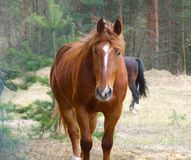 Brown horse. On a background a pine-wood Stock Image