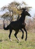 Brown Horse. Training outside on the meadow Stock Photos