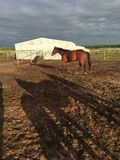 Brown Horse. A brown horse against a rainy sunset Stock Images