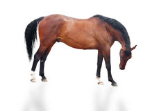 Brown horse. Beautiful brown horse in graceful pose isolated on white royalty free stock photo