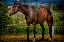 Brown horse. Beautiful brown horse in nature stock photo