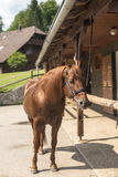 Brown horse. Beautiful horse outdoors on a leash in front of wooden house, stables Stock Image