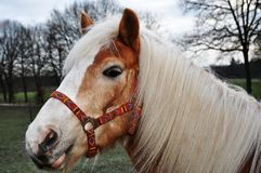 Brown horse with beautiful white mane Royalty Free Stock Photos