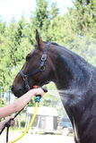 Brown horse being washed Royalty Free Stock Photography