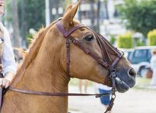 Brown horse with bridle Stock Images