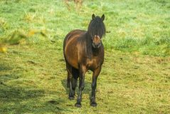 Brown horse with long mane covering head and eyes. Brown horse with blach hair over the eyes on a pasture Stock Photo
