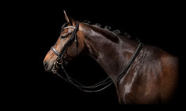 Brown horse black background Royalty Free Stock Image