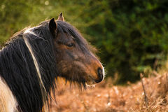 Brown Horse With Black Hair Close-up Portrait. Stock Photography