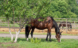 Brown horse with black mane eating grass growing Royalty Free Stock Images