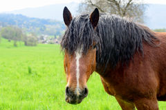 Brown horse with a black mane Stock Photography