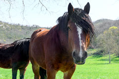 Brown horse with a black mane Royalty Free Stock Photography