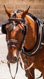 Brown horse with blinders and harness. Stock Image