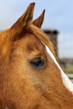 Brown Horse with blond hair Stock Images