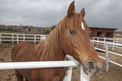 Brown Horse with blond hair Stock Image