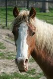 Brown Horse with Blond Mane. A brown horse with a white patch and a blonde mane stock images