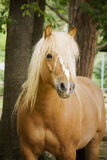 Brown horse Royalty Free Stock Photo