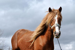 Brown horse with blonde mane Stock Photos