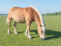 Brown horse with blonde manes and tail eating grass Stock Photos