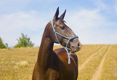Brown horse  in a blue halter of ropes on the field Royalty Free Stock Photo