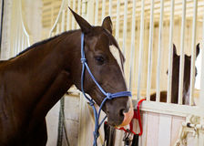 Brown horse  in a blue halter of ropes in the stable Royalty Free Stock Photography