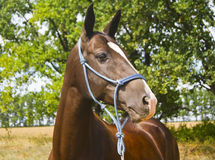 Brown horse in a blue halter of ropes Stock Image