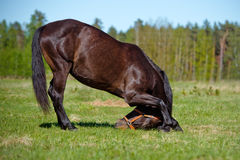 Brown horse bows down Stock Photos