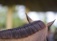 Brown horse braided mane Royalty Free Stock Photo