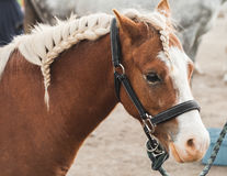 Brown horse with braided mane. Closeup portrait Stock Images
