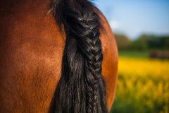 Horse with a braided tail in the field covered with yellow wildflowers. A brown horse with a braided tail in the field covered with yellow wildflowers royalty free stock image