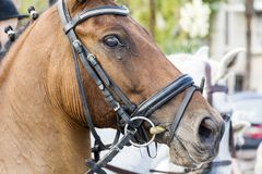 Brown horse with bridle Royalty Free Stock Image