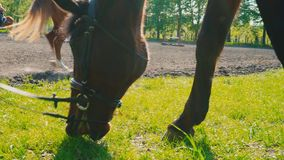 The brown horse in the bridle is eating the grass near the training area, the horse`s muzzle is close up. Chestnut horse grazing grass stock video footage